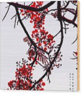 Spring Blossom In Maldives. Flamboyant Tree Wood Print