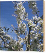 Spring Cherry Blossoms Wood Print