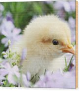 Spring Chick Wood Print