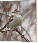Spring Chipping Sparrow Wood Print