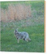 Spring Coyote  Wood Print