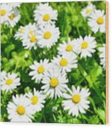 Spring Daisy In The Meadow Wood Print