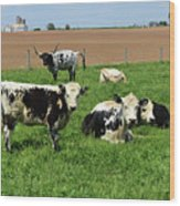 Spring Day With Cows On An Amish Cattle Farm Wood Print
