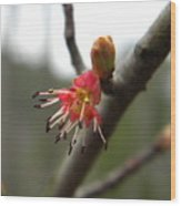 Spring Flower Closeup 1 Wood Print