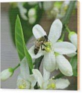 Spring Honey Bee Pollinates Orange Citrus Flower Wood Print