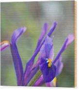 Spring Iris Three Wood Print