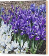 Spring Japanese Iris Wood Print
