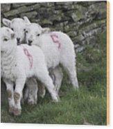 Spring Lambs 2 Wood Print