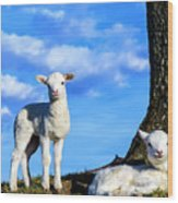 Spring Lambs Evening Light Wood Print