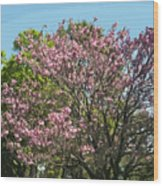 Spring Magnolia In Winter Park  Wood Print