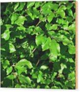 Spring New Beech Leaves Wood Print
