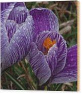 Spring Showered Crocuses Wood Print
