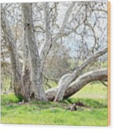 Spring Sycamore Tree Wood Print