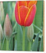 Spring Tulips 211 Wood Print
