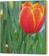 Spring Tulips 214 Wood Print