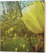 Spring. Yellow Magnolia Flower Wood Print