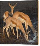 Springboks Drinking Wood Print