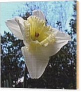 Spring's First Daffodil 2 Wood Print