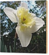 Spring's First Daffodil 3 Wood Print