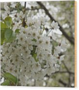 Springtime Abundance - Masses Of White Blossoms Wood Print