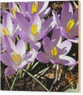 Springtime Crocuses  Wood Print