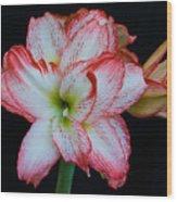 Springtime Florida Amaryllis Wood Print