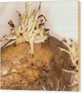Sprouting Potato Wood Print