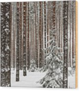 Spruce Among The Pines Wood Print