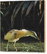 Squacco Heron On The Look Out For Fish Wood Print