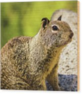 Squirrel On The Rock Wood Print