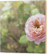 St. Cecilia Shrub Rose, Pink Rose Originally Produced By The Br Wood Print