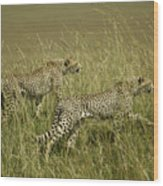 Stalking Cheetahs Wood Print