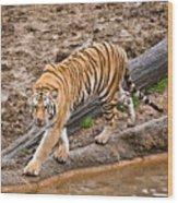 Stalking Tiger - Bengal Wood Print