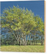 Stand Of Lake Birch Trees Wood Print