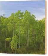Stand Of Quaking Aspen Trees Wood Print