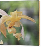 Stanhopea Orchid Wood Print