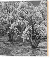 Star Magnolia Trees Wood Print