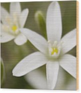Star Of Bethlehem Wood Print by Margaret Denny