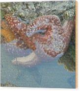 Starfish Sandwhich Wood Print