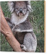 Staring Koala Wood Print
