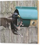 Starling On Bird Feeder Wood Print