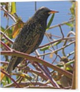 Starling With Sparrow Looking On Wood Print