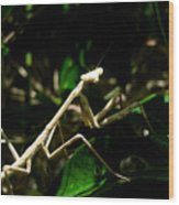 Stick Insect Wood Print