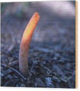 Stinkhorn Rising Wood Print
