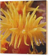 Stony Cup Coral Wood Print