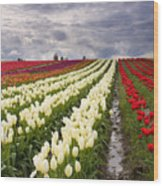 Storm Over Tulips Wood Print by Mike  Dawson