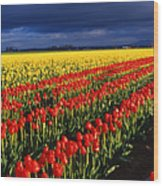 Stormy Tulips Wood Print