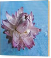 Straw Flower On Blue Wood Print
