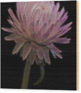 Straw Flower Wood Print