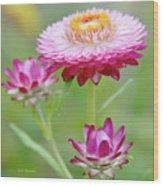 Strawflower Blossoms Wood Print
